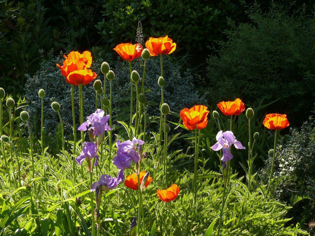 poppy-944329_1280